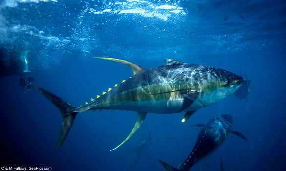 tuna-yellowfin-585-mfk021011